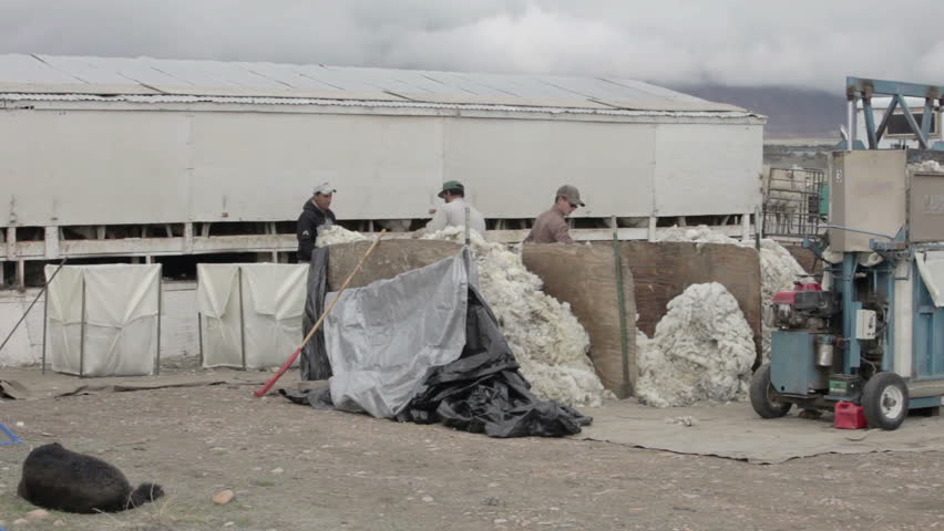 FOUNTAIN GREEN, UTAH APR 2012: Sheep wool quality control and sort check on livestock ranch to harvest wool for textile and industry. Sort and grade for sale. Central Utah farm agriculture industry