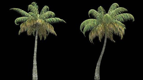 Palm tree with alpha cannel.