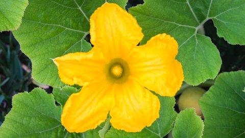 Open Pumpkin Flower.