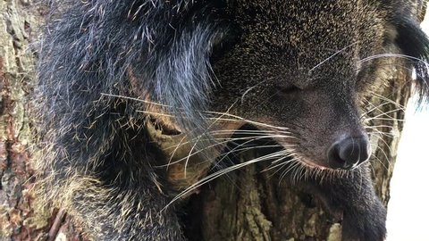 A binturong sleeps hanging on a branch tree. The binturong (Arctictis binturong), also known as bearcat, is a viverrid native to South and Southeast Asia.