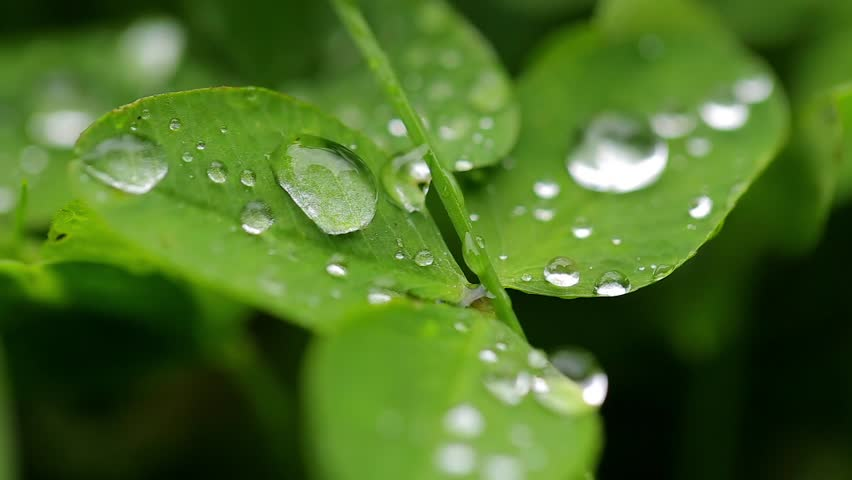 Dew on the leaves of clover. Close-up macro with focusing. | Shutterstock HD Video #22133791