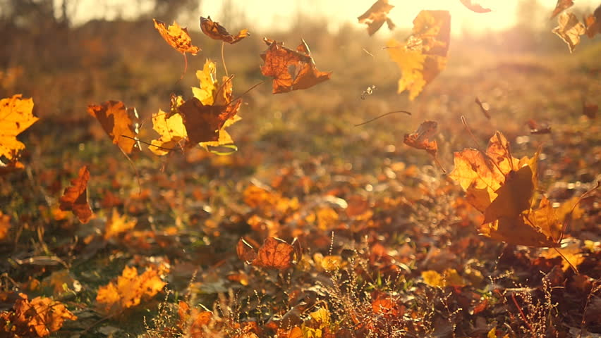 Autumn leaves falling in slow motion and sun shining through fall leaves. Beautiful landscape background.
