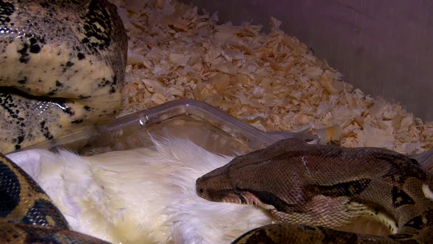 Header of constrictor