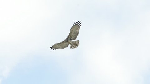 Short toed Snake Eagle hovering and keeping an eye on prey ,blue sky background,migratory rare bird.Bird of prey in flight.