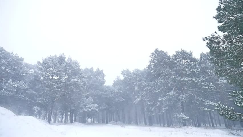 Snowstorm The Woods Blizzard Snowing Nature Winter, Christmas Tree And Pine  Forest Landscape   HD