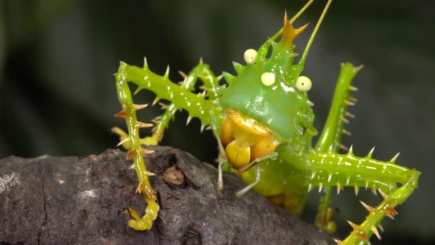 Close-up of a thorny devil katydid (Panacanthus cuspidatus) In the rainforest understory, Ecuador