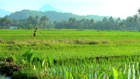 Indonesia - August 2016: Rural traditional manual farm worker irrigating field with hand tool in tropical rice fields near Mt Merapi volcano Java Indonesia