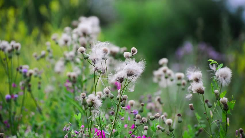 Sow thistle stock video footage 4k and hd video clips shutterstock mightylinksfo