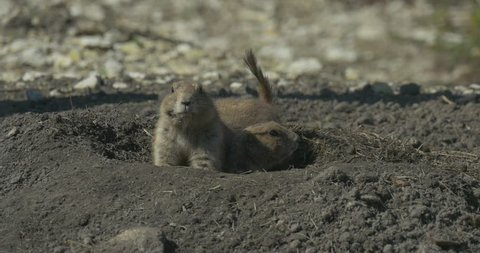 Ground Squirrel Family Sit at the Entrance to the Hole. Rodents Burrowing Tunnel. Wildlife in the Field or Desert. Small Piles of Loose Soil Covering the Entrances. Marmot Moves His Short Bushy Tail.