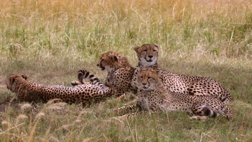 Cheetah and three cubs relax