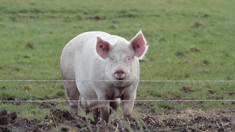 Mother Sow Pig; Free Range Pig Farm Scarborough