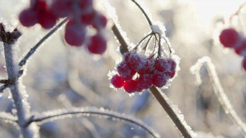 viburnum berry in sun, viburnum big tree under the snow, red berry viburnum