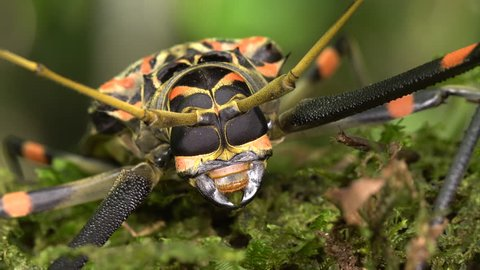 Close-up of the head of a Harlequin Beetle (Acrocinus longimanus) showing compound eyes and mandibles. A large beetle from the Amazon, known for carrying pseudoscorpions and mites under the elytra.