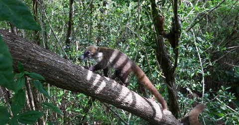 Mexico Coati Mundi wildlife jungle tree. The Coati or Coatimundi animal, member of the raccoon family. Live in jungles of Mexico and south central America. Ring tail and bandit colored masks on face.