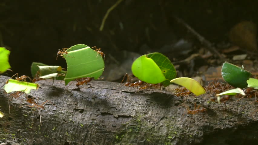 Slow motion shot of leaf cutter ants (Atta sp.) carrying pieces of leaves along a branch in the rainforest, Ecuador. Tiny workers (minims) are riding on the leaves. | Shutterstock HD Video #22835254