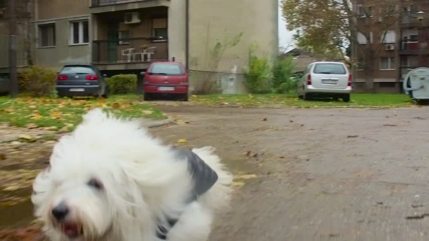 Happy Coton de Tulear runs like the wind in parking space behind apartment buildings
