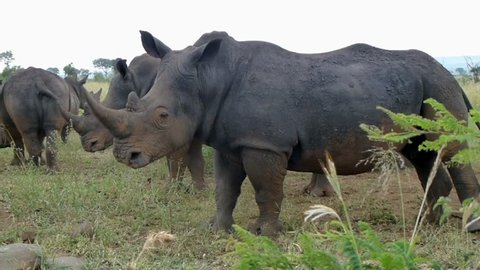 Close up shot of a group of White rhinos, Kruger National Park, South Africa