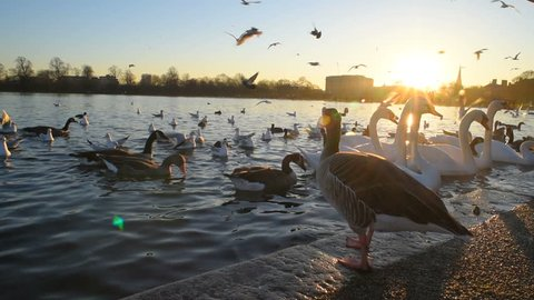 birds in the lake in Hyde park in London, UK.