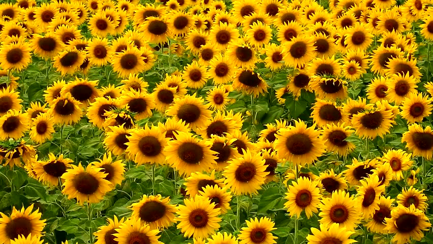 Sunflowers Animated Background Stock Footage Video 6941641 ...