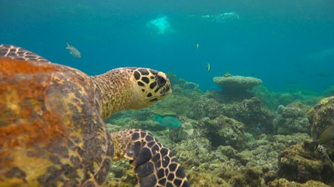 Fascinating underwater diving with sea turtles Hawksbill on the reef of the Maldivian archipelago.