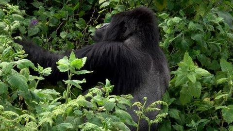 Mountain Gorilla, Sabyinyo Family, Rwanda, Silverback Guhonda
