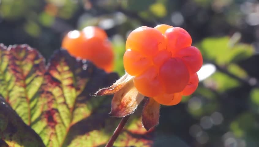 Cloudberry in the mountains. Urals, July. Macro3.