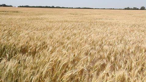 Rolling Kansas wheat field. Field of tall wheat swaying & rolling in the prairie winds.