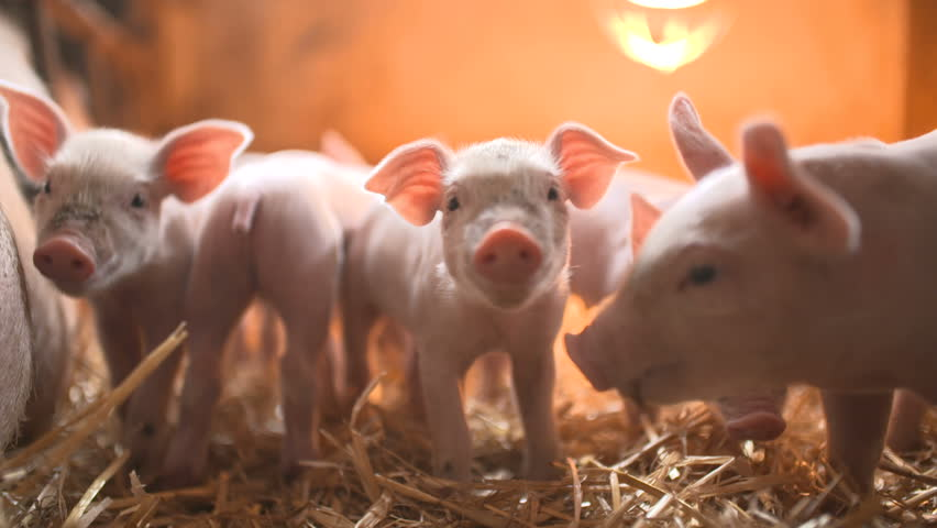 Pigs Sex At Livestock Farm Stock Footage Video 4942010 -4428