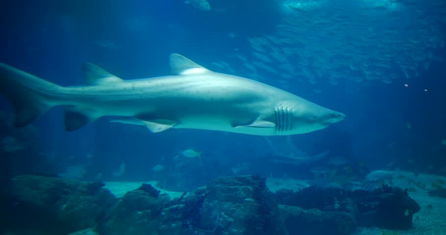 Amazing, Huge Sandtiger Shark - Carcharias Taurus, surrounded by lots of different fishes