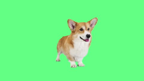 welsh corgi on a green background