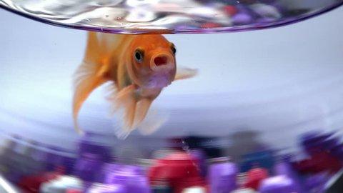 Fish bowl with swimming gold fish