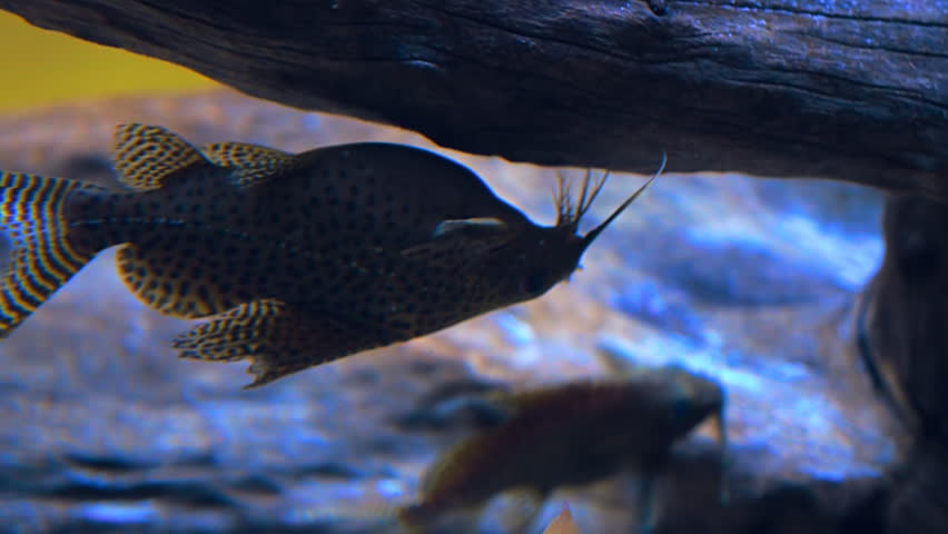 Exotic tropical fish Synodontis nigriventris David in blue water of aquarium is floating belly-up. Shot in motion. Shallow depth of field | Shutterstock HD Video #23610151