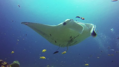 Manta ray flying over a cleaning station.
