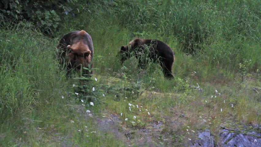 Grizzly Bear sow or mother walks towards view in forest meadow with three young cubs in Alaska