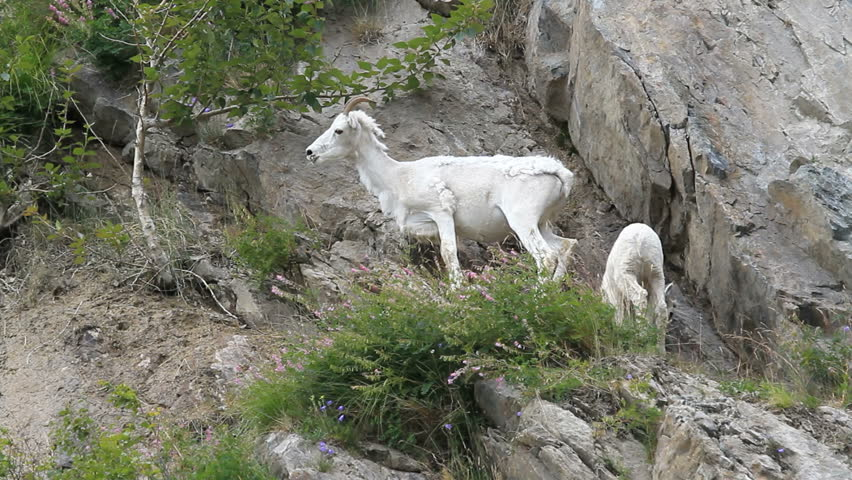 Dall sheep high on mountain ledge. Mother ewe and lamb on rocky steep mountain cliff ledges in Anchorage, Alaska.
