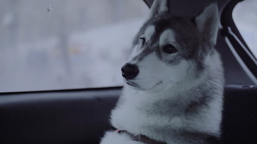 Dog breed husky sitting in the car.