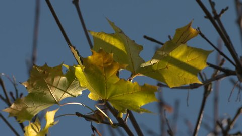 CU. Leaves blowing in the wind during Autumn. Sunlight shines on the leaves.Reading, UK