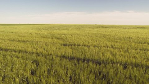 Aerial drone flying over growing green / gold / yellow farmers wheat field in Saskatchewan, Canada. The drone is hovering over the field as it fly's in the blue sky.
