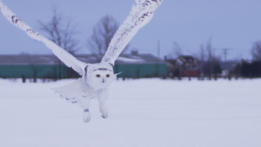 Snowy owl slow motion take off flight in snow