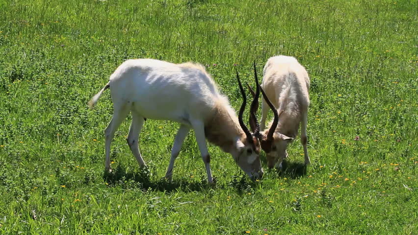Header of addax