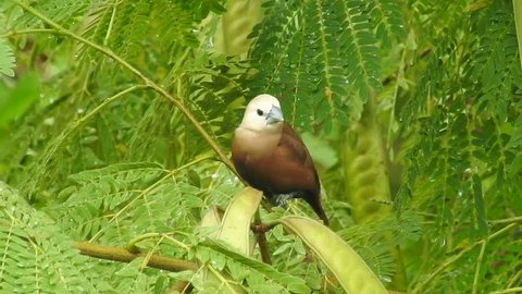 White headed munia sitting on a branch and look around its surrounding and fly away leaving a bouncing branch