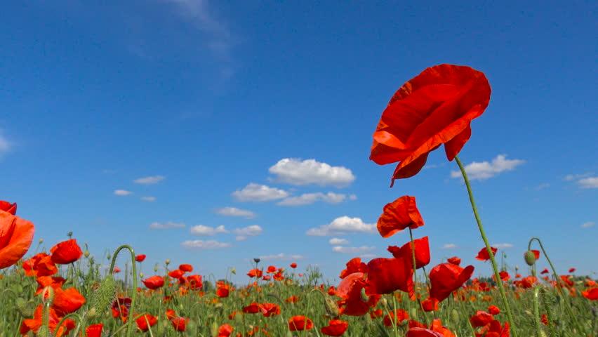 A flowering poppy field near Krasnodar. Russia.
