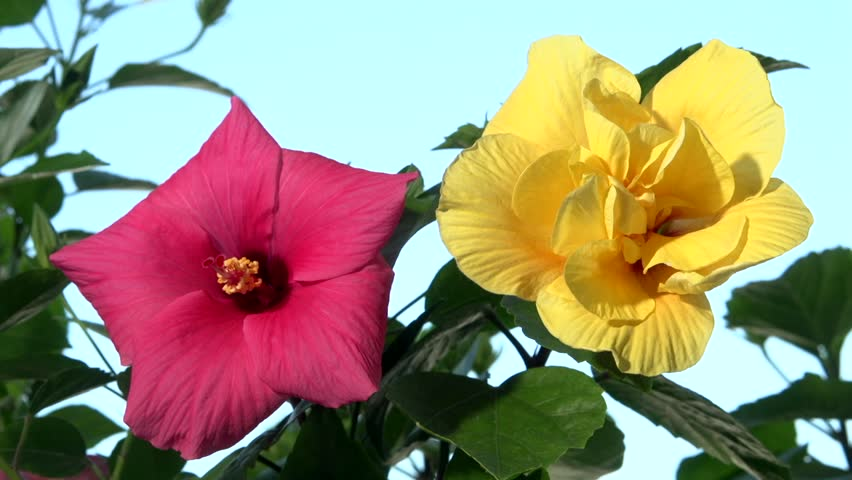 Red And Yellow Hibiscus Flowers Stock Footage Video 100