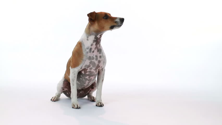 A curious little terrier on a white backdrop cocks and turns his head in response to something or someone off camera.