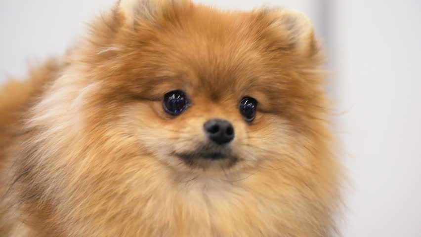 Image Of Pomeranian Or Japanese Stock Footage Video 100 Royalty