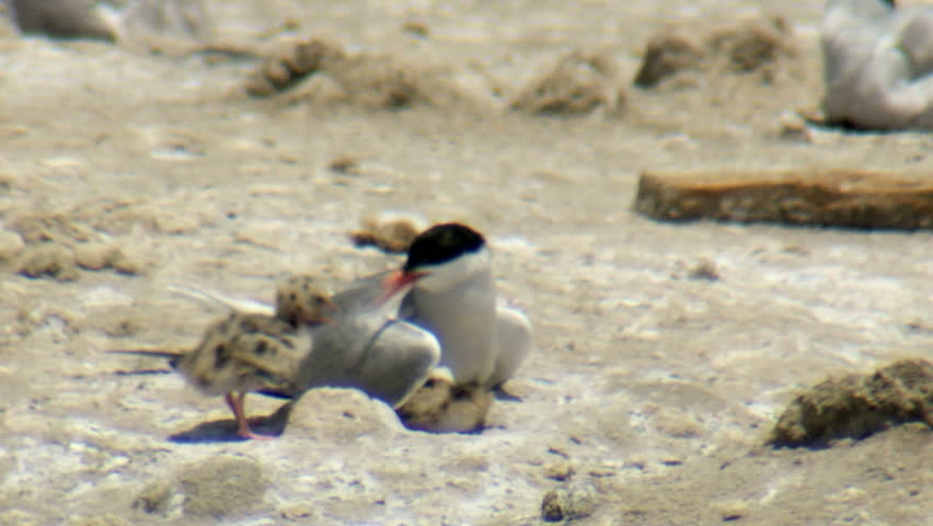 common terns (Sterna hirundo) nesting in the colony