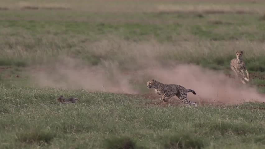 Cheetah running chasing a rabbit in Amboseli, Kenya Shot in super slow motion using Sony FS700 at 240 fps FHD | Shutterstock HD Video #23983753