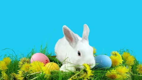 Cute Easter rabbit sitting near Easter eggs, green grass with dandelions, on blue chroma key