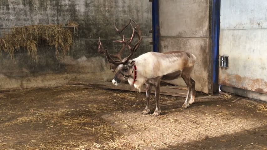 Reindeer In Red Collar Standing Chewing Then Walking Inside The Barn Farm Animal