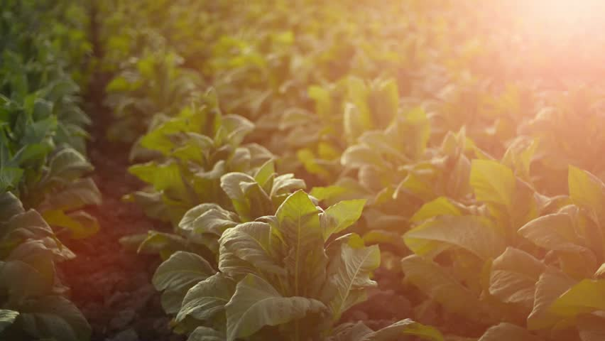 Wind blowing through tobacco leaves at  platation field; THAILAND | Shutterstock HD Video #24085051